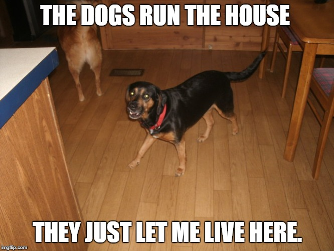 run the house | THE DOGS RUN THE HOUSE THEY JUST LET ME LIVE HERE. | image tagged in dogs | made w/ Imgflip meme maker