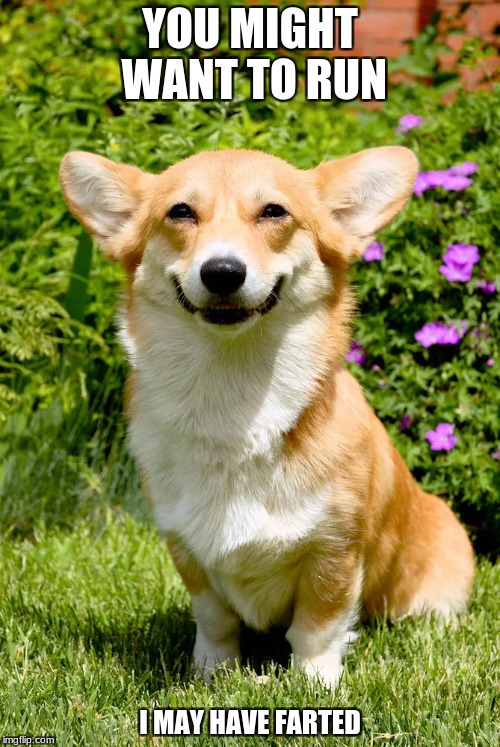 Corgi Fart |:) | YOU MIGHT WANT TO RUN I MAY HAVE FARTED | image tagged in corgi,fart,funny,memes | made w/ Imgflip meme maker