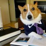 Lawyer Corgi Dog