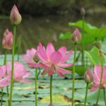Lotus flowers high in air meme