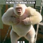 white gorilla | POOR HARAMBE THE GORILLA HE WAS THE WRONG COLOR R.I.P. | image tagged in white gorilla | made w/ Imgflip meme maker