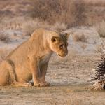 Lion and Porcupine meme