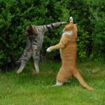 Two cats fighting meme