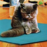 yoga cat | TIME TO GET FLEXY | image tagged in yoga cat | made w/ Imgflip meme maker