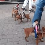 To the front page! They have socks! | image tagged in gifs,dogs,funny dogs,funny | made w/ Imgflip video-to-gif maker