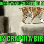 Tiger Week July 24 - 31...A TigerLegend1046 Event | I'M A TIGER I'M NOT SCARED OF ANYTHING | image tagged in gifs,tigers,tiger week,funny,animals,scary bird | made w/ Imgflip video-to-gif maker