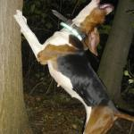 Treeing coonhound meme