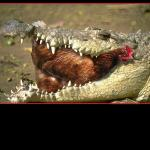 Gator Eating Chicken