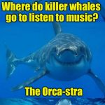 Bad Shark Pun  | Where do killer whales go to listen to music? The Orca-stra | image tagged in bad shark pun | made w/ Imgflip meme maker