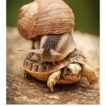 Snail riding turtle meme