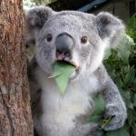 Surprised Koala Meme | WHEN YOU'RE CAUGHT SNACKING RIGHT BEFORE DINNER | image tagged in memes,surprised koala | made w/ Imgflip meme maker