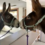 Gorgeous! (Dozer the Donkey) meme