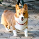 Chessie The Corgi meme