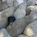 Sheep Dog meme