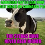 Are they talking about me? | CANADIAN CATTLE CAN NOW LEGALLY GRAZE ON CANNABIS PLANTS THE STEAKS HAVE NEVER BEEN HIGHER | image tagged in cow,funny,canada,weed | made w/ Imgflip meme maker
