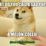 This one is a bit 'ruff' | WHAT DO YOU CALL A SAD PUPPY? A MELON COLLIE. @DadJokesNMemes | image tagged in memes,doge 2,dogs,bad pun | made w/ Imgflip meme maker