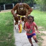 Orangutan chasing girl on a tricycle meme