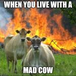 Evil Cows Meme | WHEN YOU LIVE WITH A MAD COW | image tagged in memes,evil cows | made w/ Imgflip meme maker