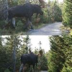 moose crossing meme