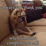 bulldogsad | The humans always say 'thank you' when someone compliments ME | image tagged in bulldogsad | made w/ Imgflip meme maker