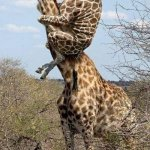 Funny Giraffe | MOM!! GET THE SPIDER!! It's a piece of grass kid | image tagged in funny giraffe | made w/ Imgflip meme maker