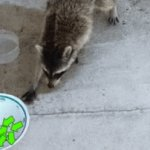 The raccoon stealing the upvotes from the cats bowl | image tagged in gifs,gif,cats,raccoon,upvotes,stealing | made w/ Imgflip video-to-gif maker