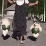 Upvote this if you thought this was cute | image tagged in gifs,husky,dog,doggo,cute,im an upvote beggar lmao | made w/ Imgflip video-to-gif maker