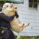 arrested pig meme