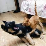 Cat Dog Fight meme