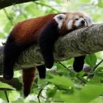 Lazy Red Panda meme