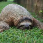 Sleeping sloth meme