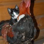 Kitten on Chicken meme