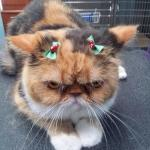 grumpy Christmas cat meme