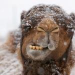 Freezing Hump Day Camel meme