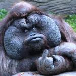 Fat orangutan with middle finger meme