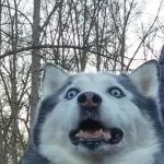 Crazy Husky is Crazy meme