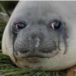 Crying Seal meme