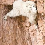 mountain goat meme