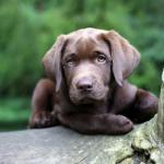 chocolate lab meme