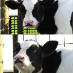 cows | HOW DO YOU COUNT COWS? WITH A COWCULATOR | image tagged in cows,puns | made w/ Imgflip meme maker