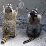 Raccoon Worshipping meme