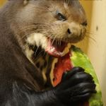 Self Loathing Otter Meme | EATING WATERMELON ON A HOT SUMMER DAY. | image tagged in memes,self loathing otter | made w/ Imgflip meme maker