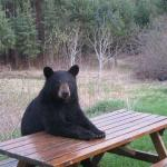 Bear at Picnic Table meme