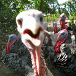 Turkeys meme