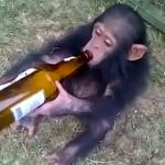 Monkey on booze meme
