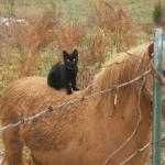 black cat on horse barbed wire fence meme