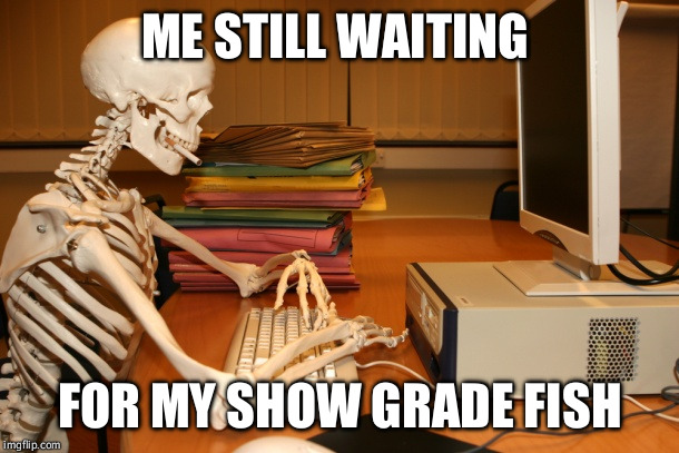 ME STILL WAITING FOR MY SHOW GRADE FISH | image tagged in waiting skeleton,skeleton waiting | made w/ Imgflip meme maker