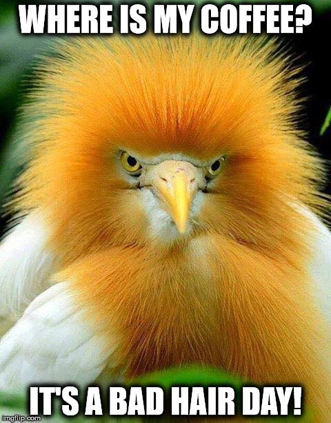 WHERE IS MY COFFEE? IT'S A BAD HAIR DAY! | image tagged in bird | made w/ Imgflip meme maker