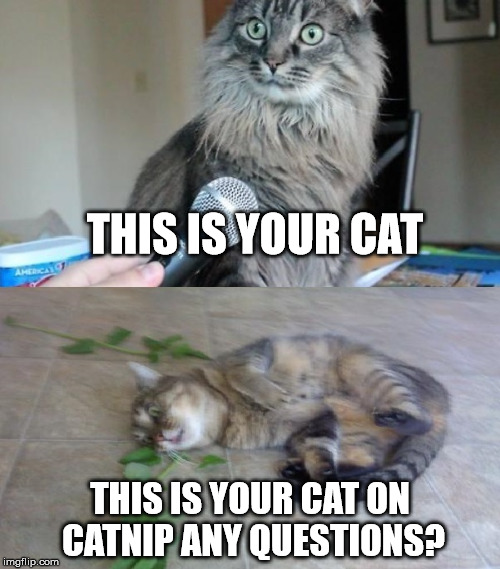 The Big Nipper | THIS IS YOUR CAT THIS IS YOUR CAT ON CATNIP ANY QUESTIONS? | image tagged in nipped,the big nipper,catnip,funny cat memes,first world problems cat,what have i done cat | made w/ Imgflip meme maker