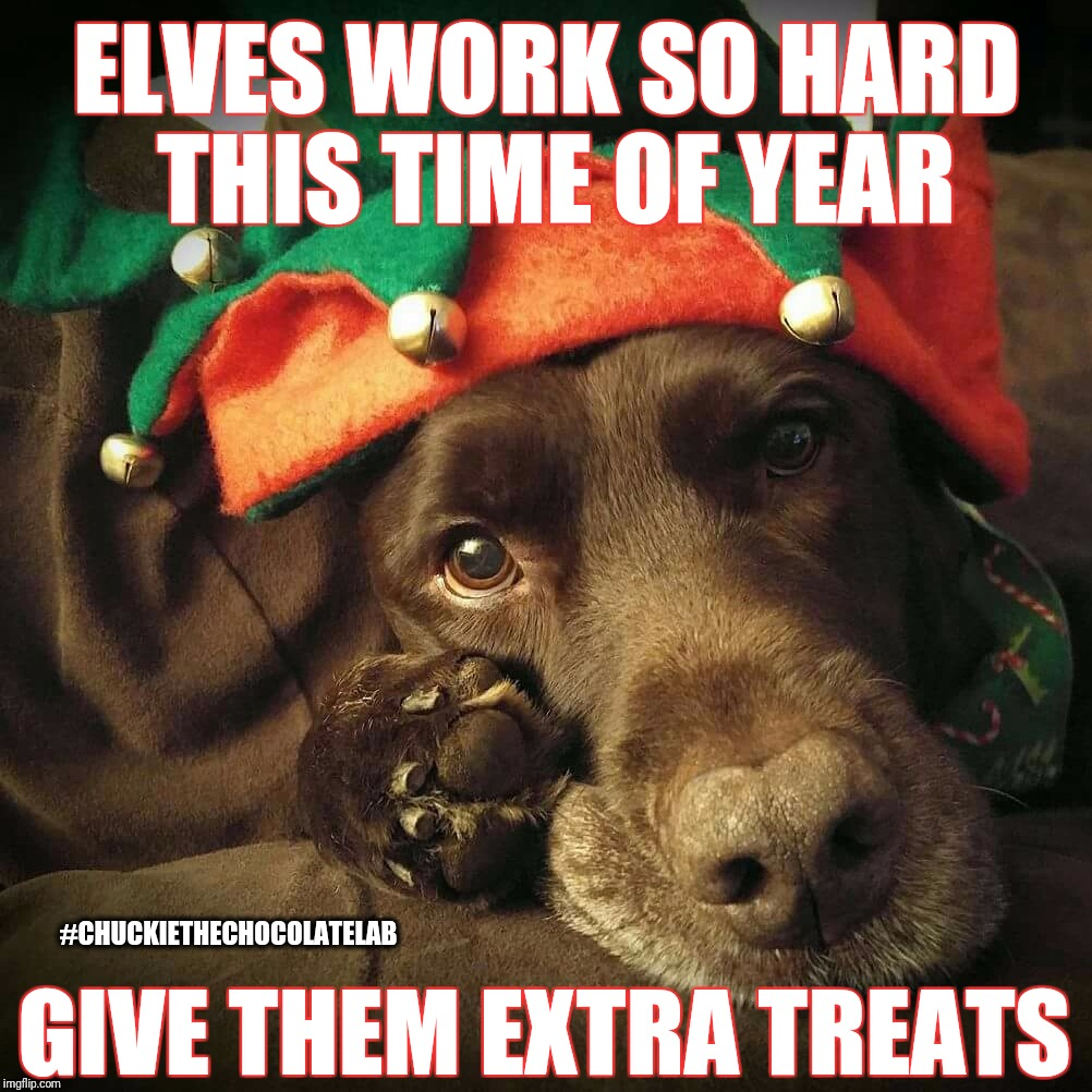 Elves work so hard this time of year | ELVES WORK SO HARD THIS TIME OF YEAR GIVE THEM EXTRA TREATS #CHUCKIETHECHOCOLATELAB | image tagged in chuckie the chocolate lab teamchuckie,christmas,dogs,memes,funny,treats | made w/ Imgflip meme maker